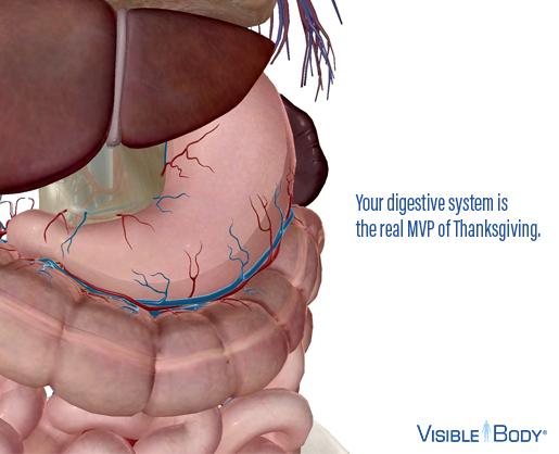 Thanksgiving-Digestive-System-Tryptophan