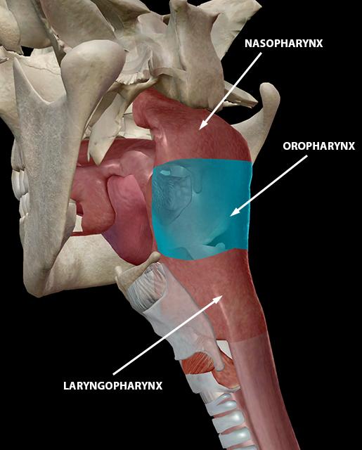 upper-respiratory-system-nasopharynx-oropharynx-layrngopharynx
