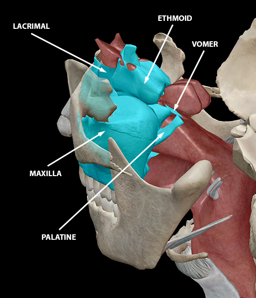 upper-respiratory-system-skeletal-structures-ethmoid-maxilla-lacrimal-vomer-palatine-nasal-concha-2