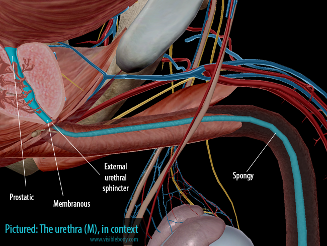 Urinary-System-Male-Urethra-in-context.png