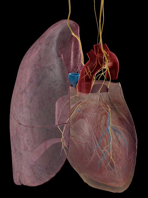 cardiac-pulmonary-plexus-color