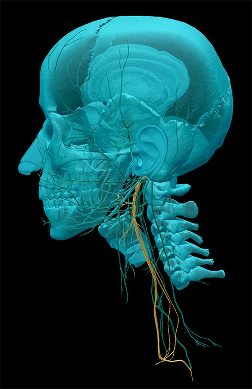 vagus-nerve-left