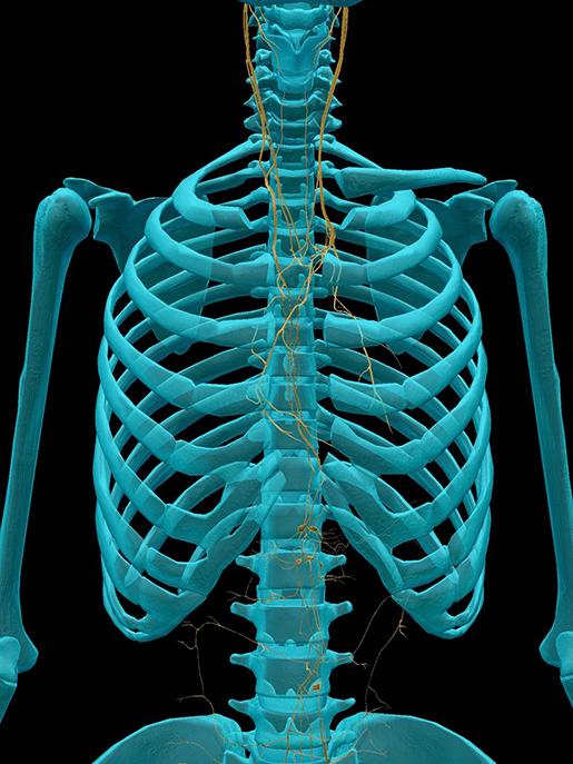 vagus-nerve-thorax-abdomen-2