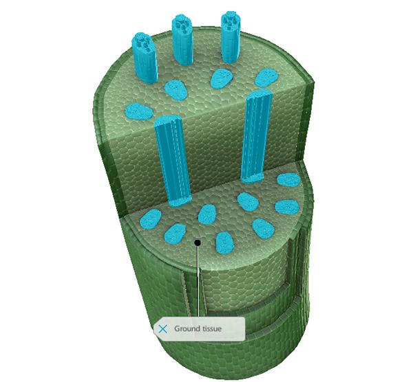 vascular-bundles-highlighted-ground-tissue-labeled-vbio-blog