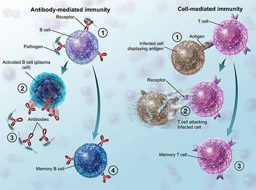 adaptive-immunity-overview