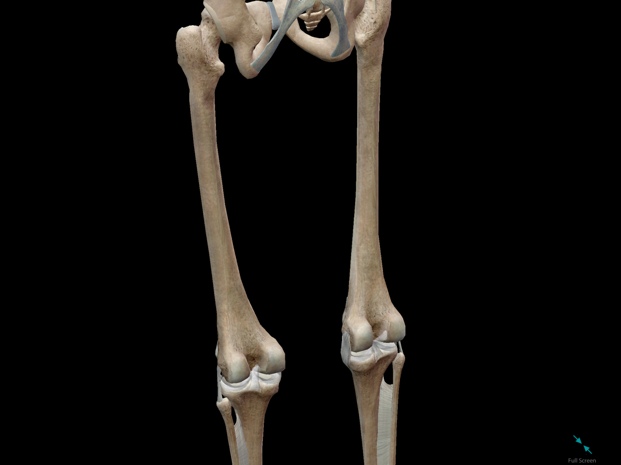 femur-bone-long-compact-osteon-marrow-popliteal.png