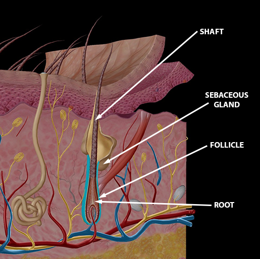 hair-follicle-root-shaft