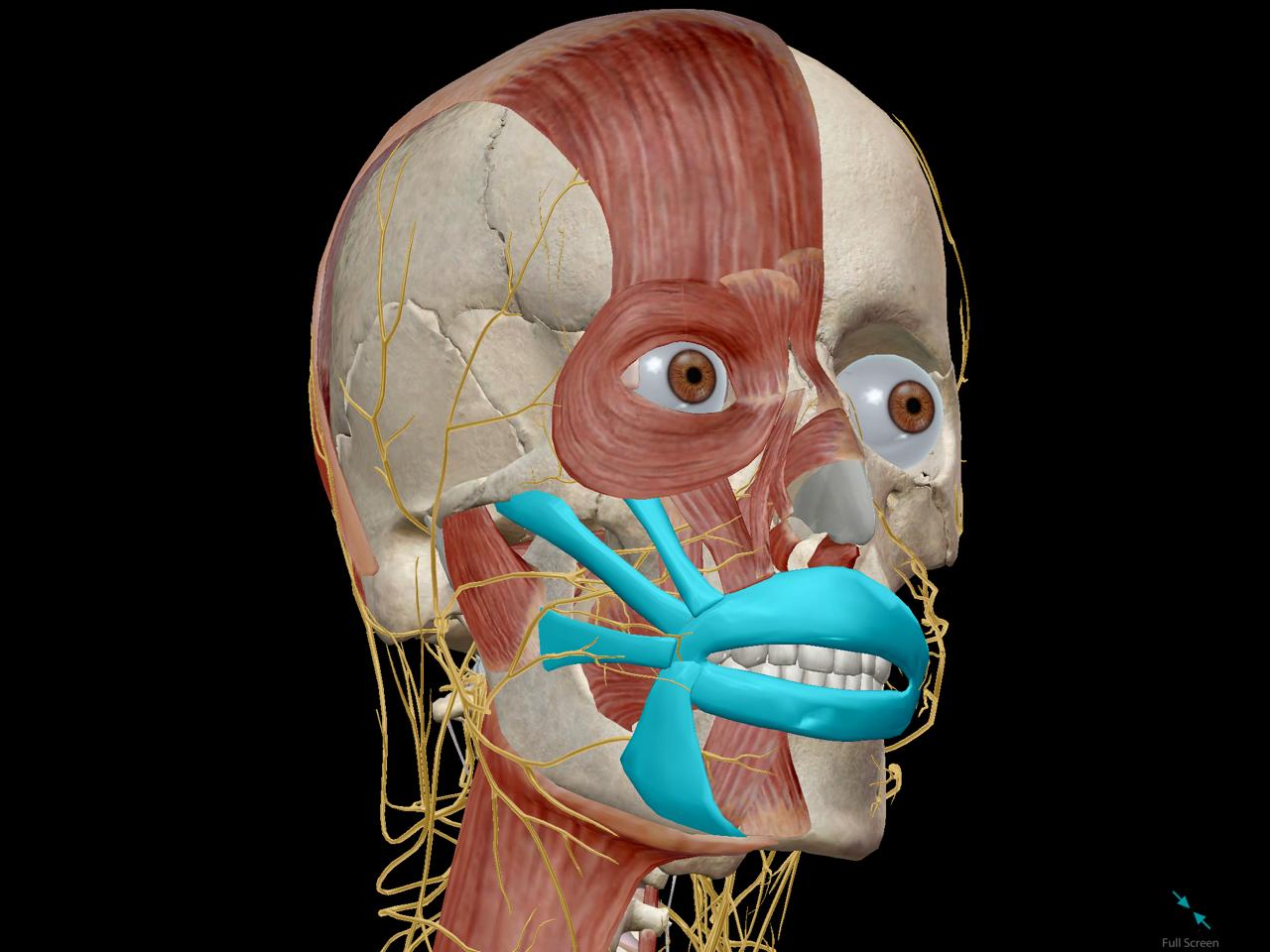 hypothalamus-pituitary-gland-brain-endorphin.png