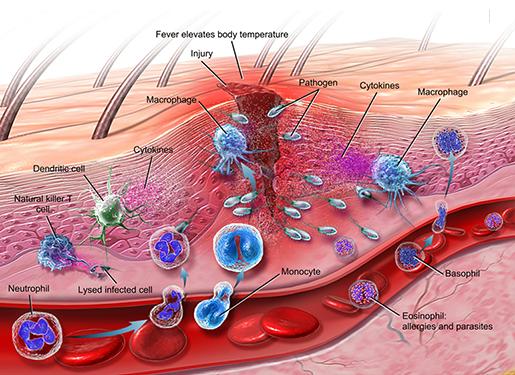 innate-immune-response