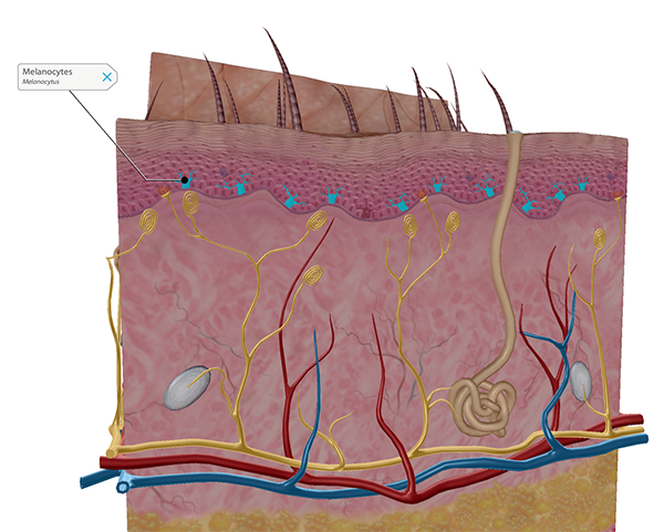melanocytes-in-epidermis-labeled
