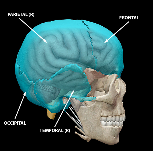 neurocranium-calvaria-2