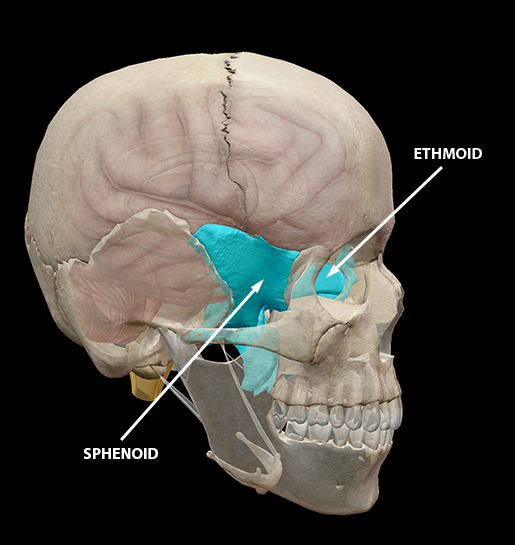 neurocranium-sphenoid-ethmoid-2
