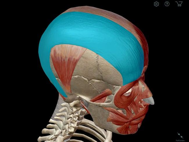 Occipitofrontalis