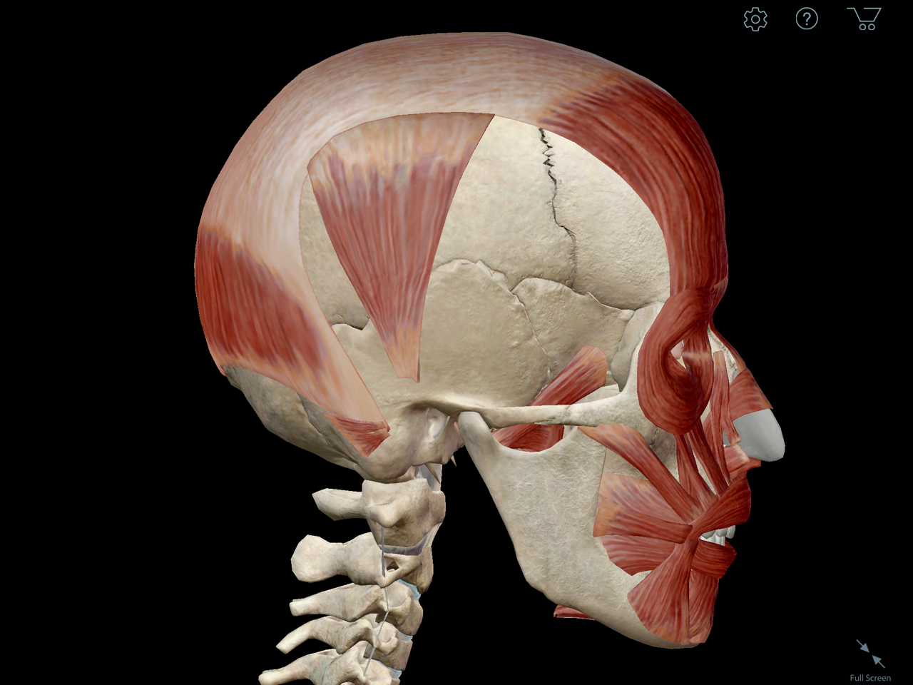 occipitofrontalis-muscle-galea-aponeurotica.png