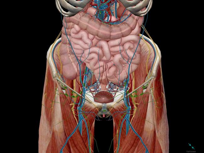 External Iliac Artery Ventral View