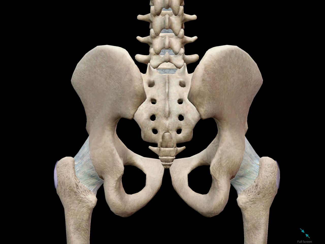 pelvic-girdle-back-hips.png