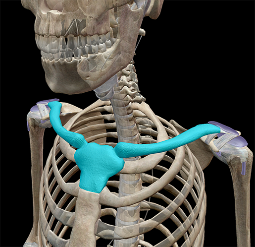 shoulder-girdle-clavicle-sternum-rib