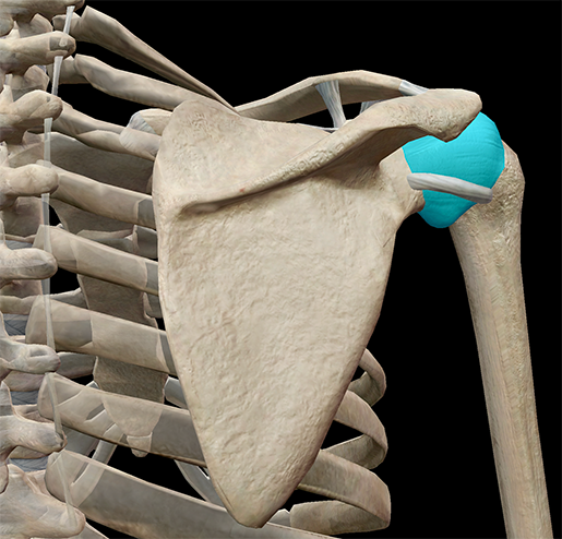 shoulder-girdle-glenoid-cavity-joint