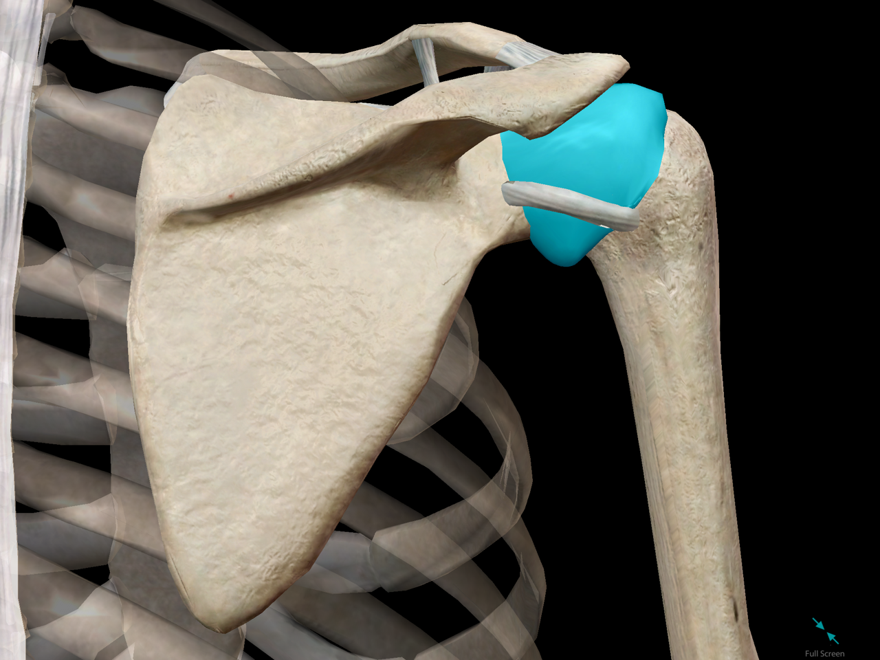 shoulder-girdle-glenoid-cavity-joint.png