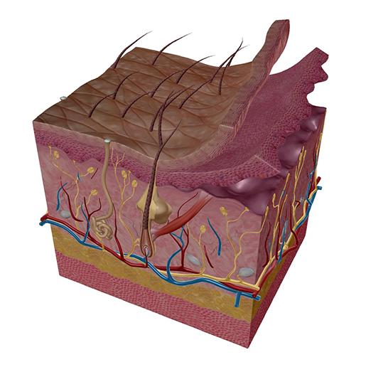 skin-interior-layers