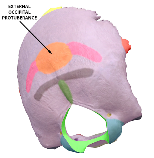 skull-external-occipital-protuberance