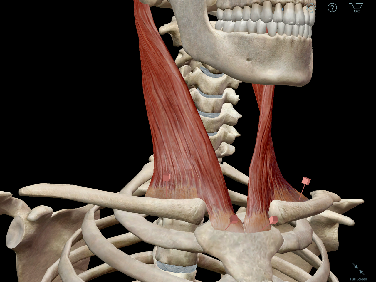 sternocleidomastoid-origin-insertion.png