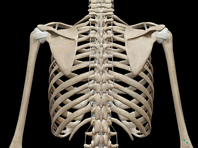 3d Skeletal System Bones Of The Thoracic Cage