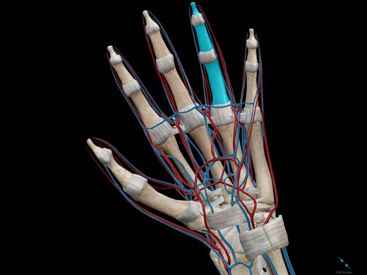 Ring finger vein to heart