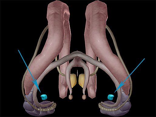 Brain-Nervous-Limbic-System-Amygdala-Amygdaloid-Body