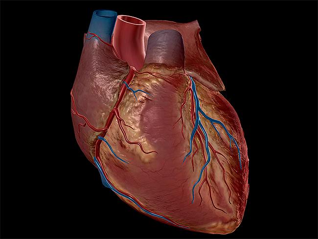 Heart-sternocostal-surface-cardiovascular