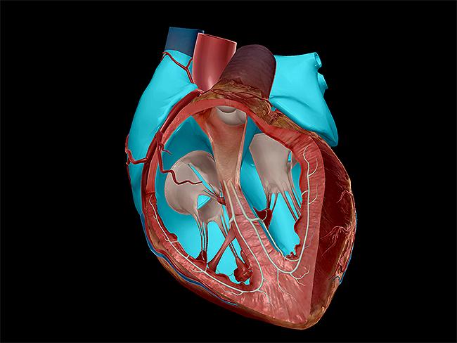Heart-valves-chambers-semilunar-tricuspid-bicuspid