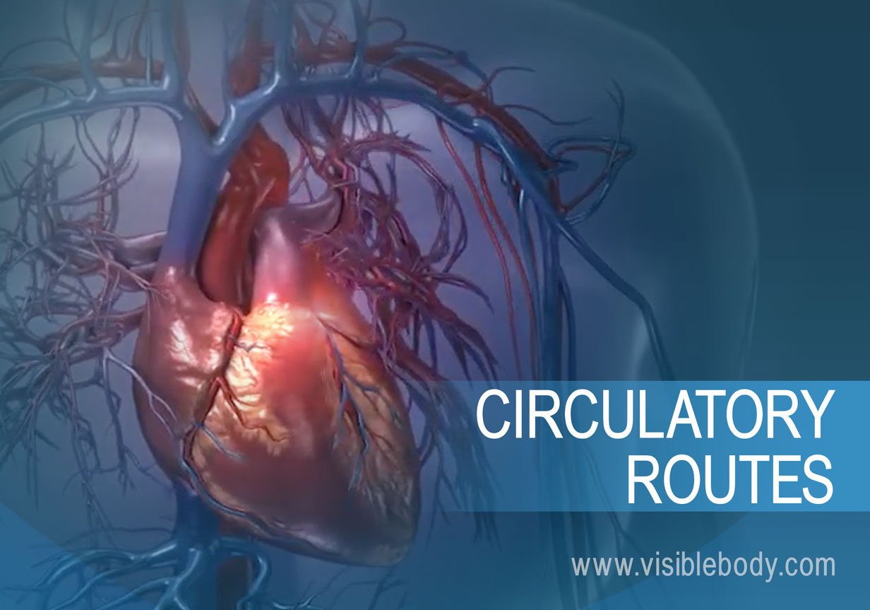 The heart in pulmonary and systemic circulation