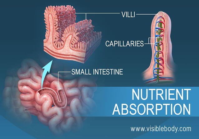 Cross section of villi in the small intestine