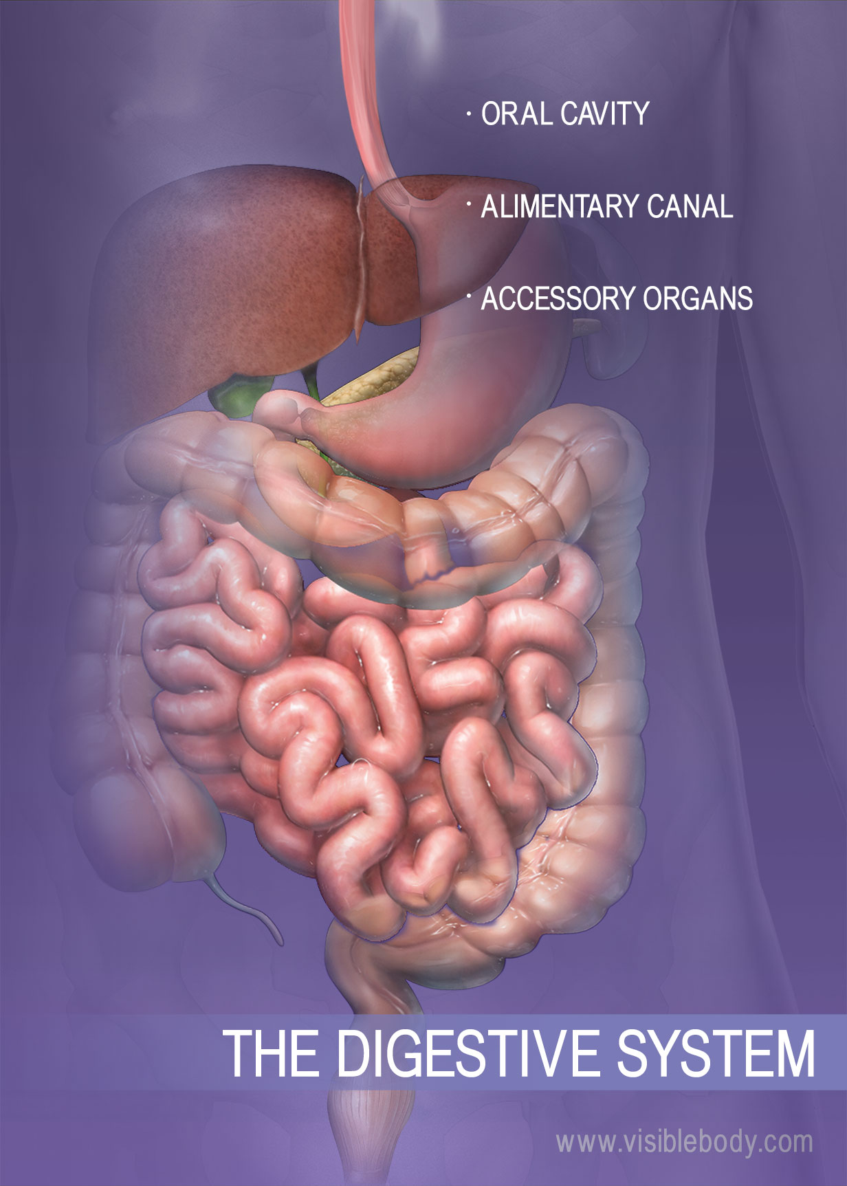 The structures of the digestive system