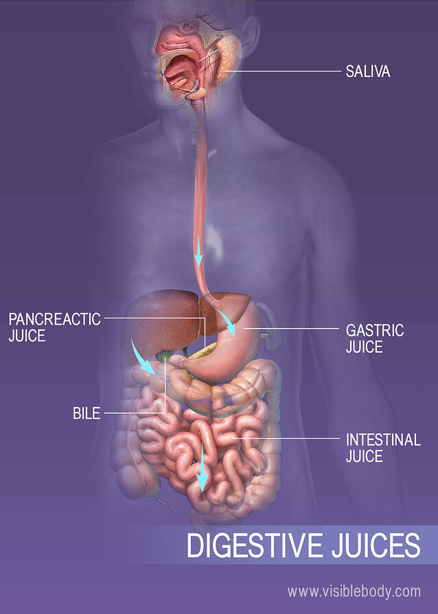 Various fluids secreted by the digestive system