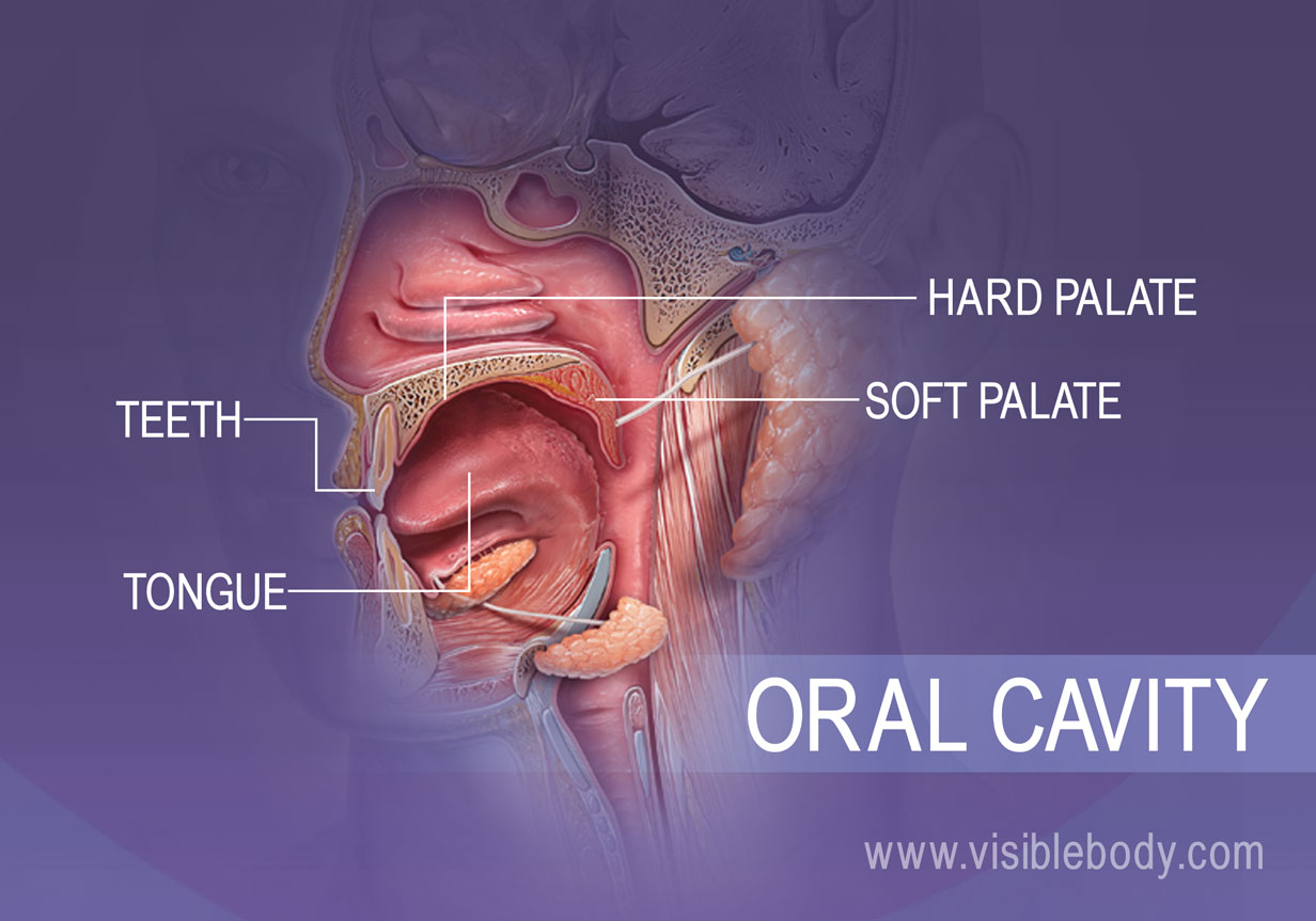Profile view of the oral cavity showing the teeth, tongue, hard and soft palates