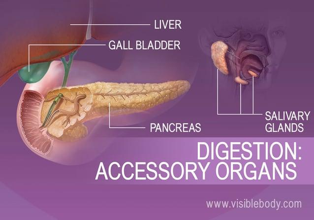 B Digestion Accessory Organs Jpg Width Amp Height Amp Name B Digestion Accessory Organs