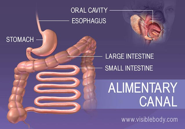 The structures of the alimentary canal
