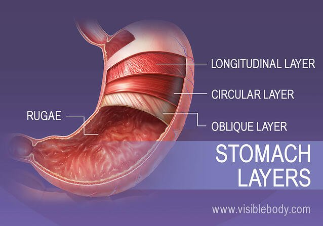 The 4 smooth muscle layers of the stomach