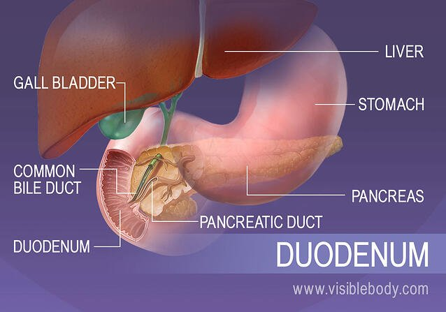 The duodenum in context