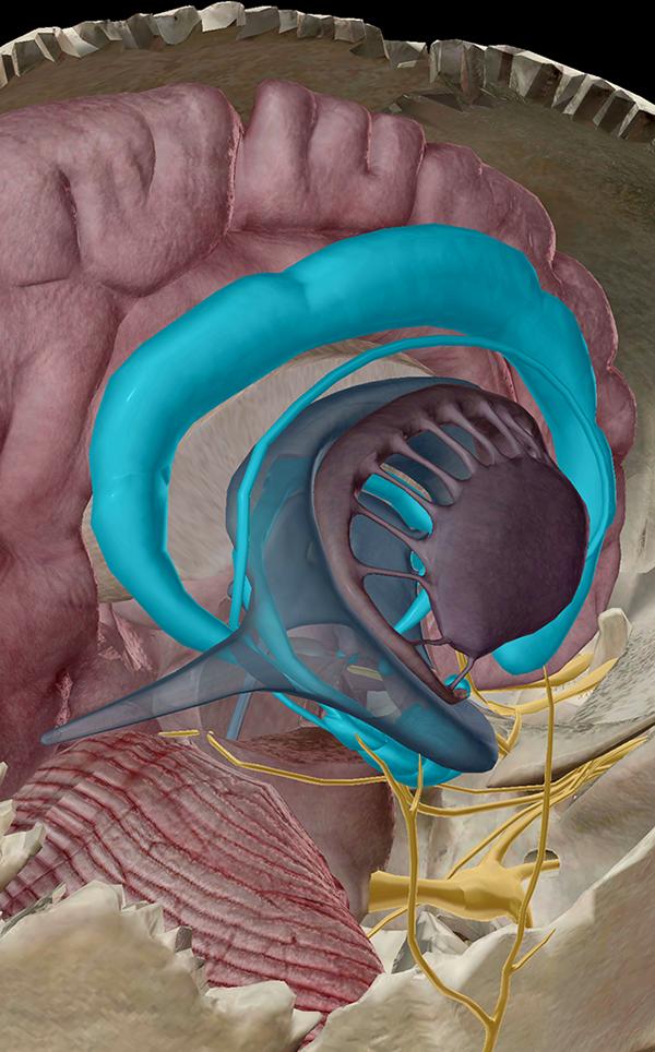 Limbic-System-3D-Anatomy