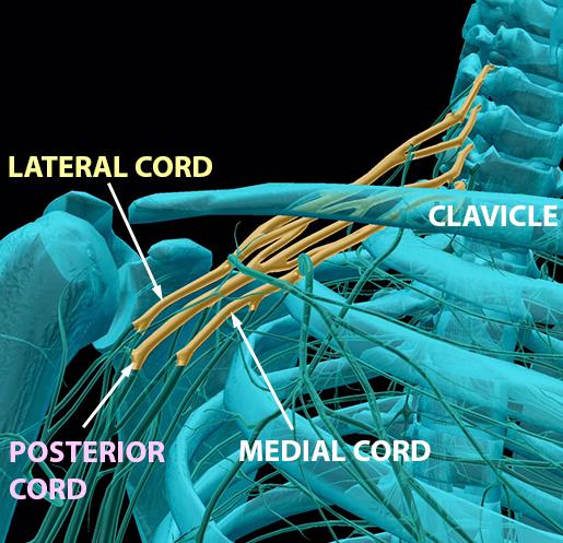 spinal-nerves-brachial-plexus-cords-3