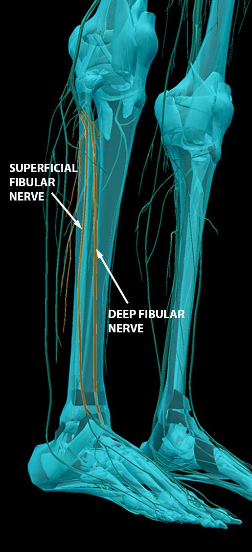 spinal-nerves-sacral-plexus-fibular-nerves-2