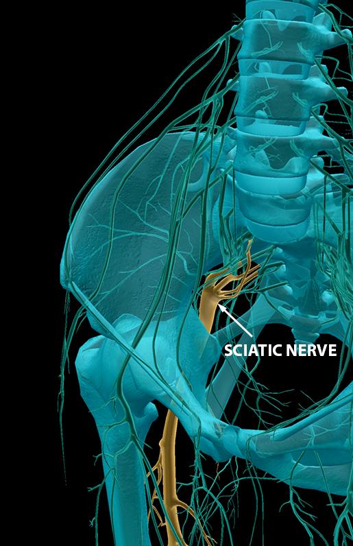 spinal-nerves-sacral-plexus-sciatic-nerve-2