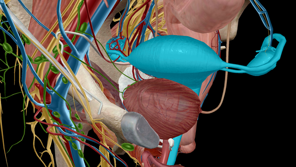 Uterus-Female-Internal-Genitalia-Context