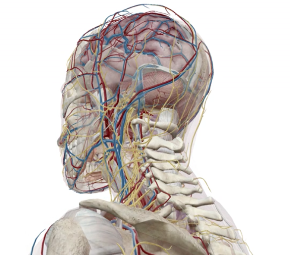 Anterior 3D view of muscles, blood vessels, and nerves inside the head