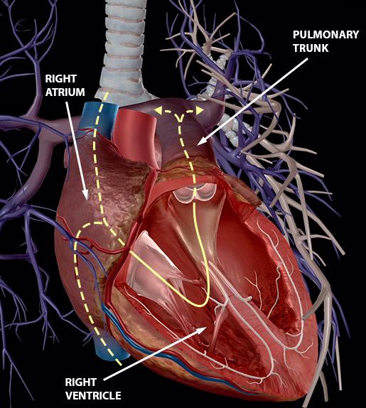 blood-vessels-pulmonary-veins-right-cricuit-new