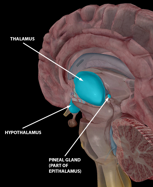 brain-diencephalon-hypothalamus-thalamus-epithalamus