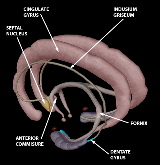 brain-limbic-system-2