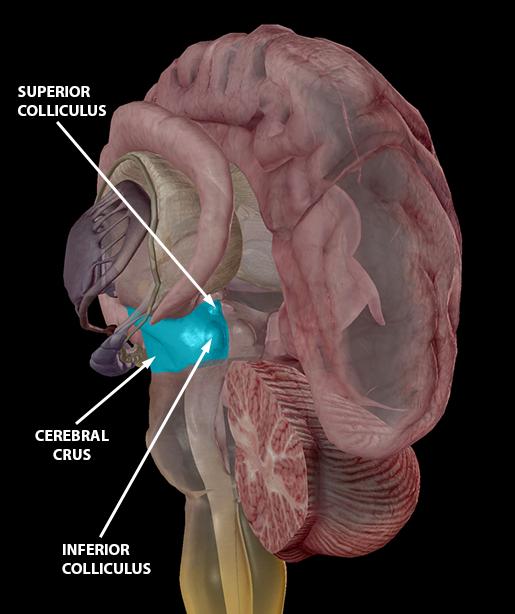 brain-midbrain-cerebral-crus-and-colliculi-2